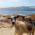 Goat on Crete's mountain roads